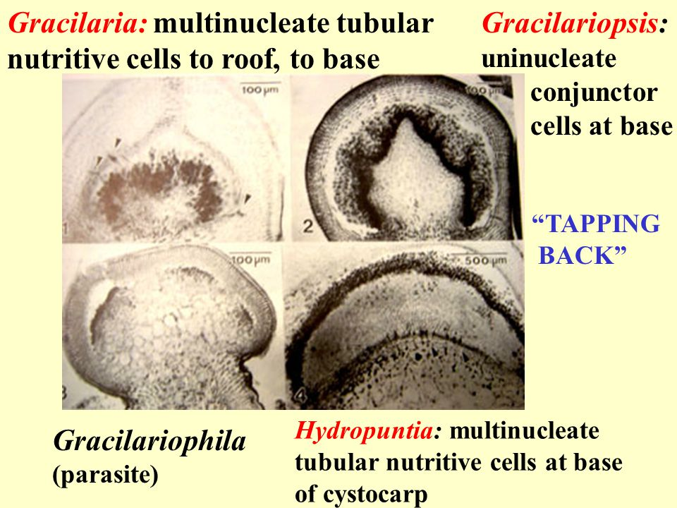 Gracilaria: multinucleate tubular nutritive cells to roof, to base Gracilariopsis: uninucleate conjunctor cells at base Gracilariophila (parasite) Hydropuntia: multinucleate tubular nutritive cells at base of cystocarp TAPPING BACK