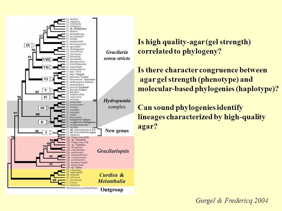 Is high quality-agar (gel strength) correlated to phylogeny.