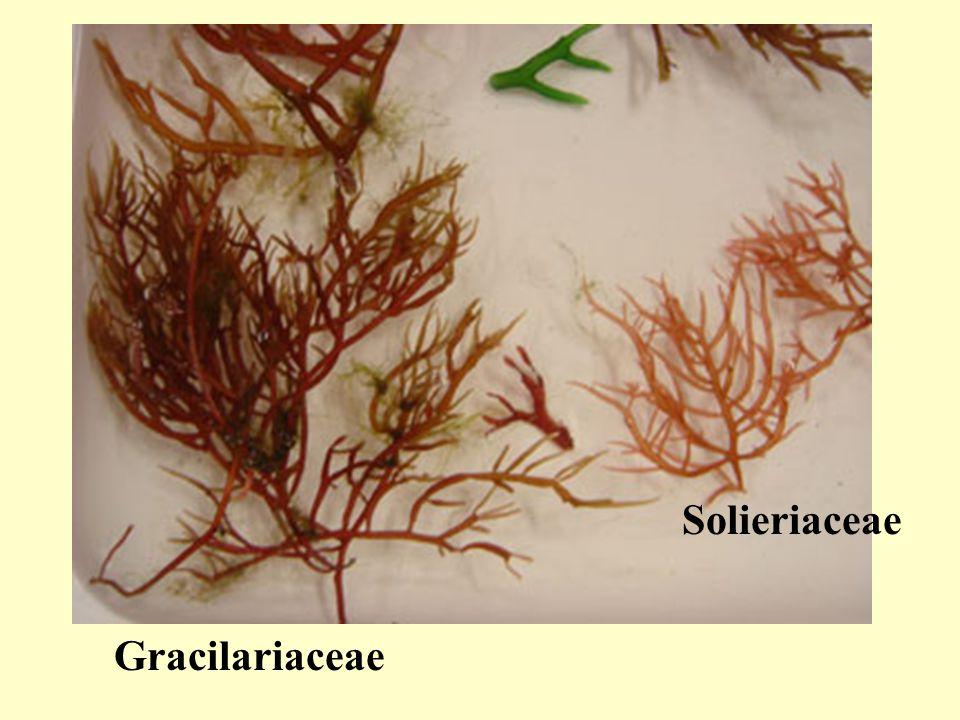 Gracilariaceae Solieriaceae