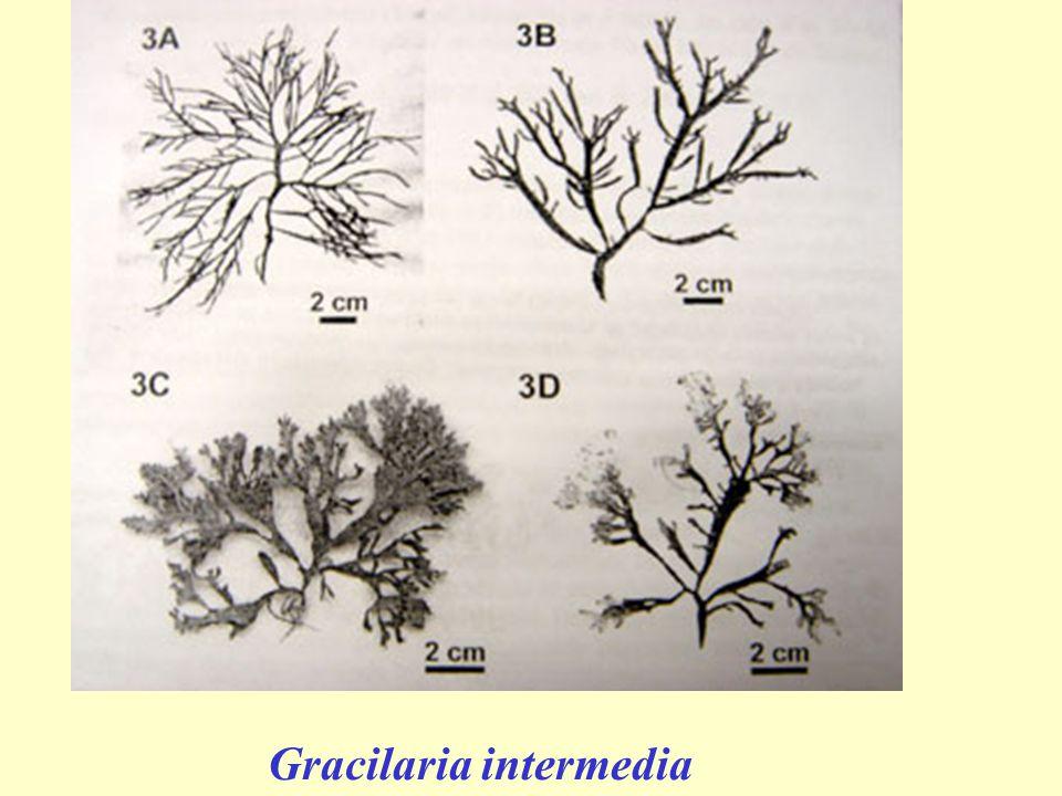 Gracilaria intermedia