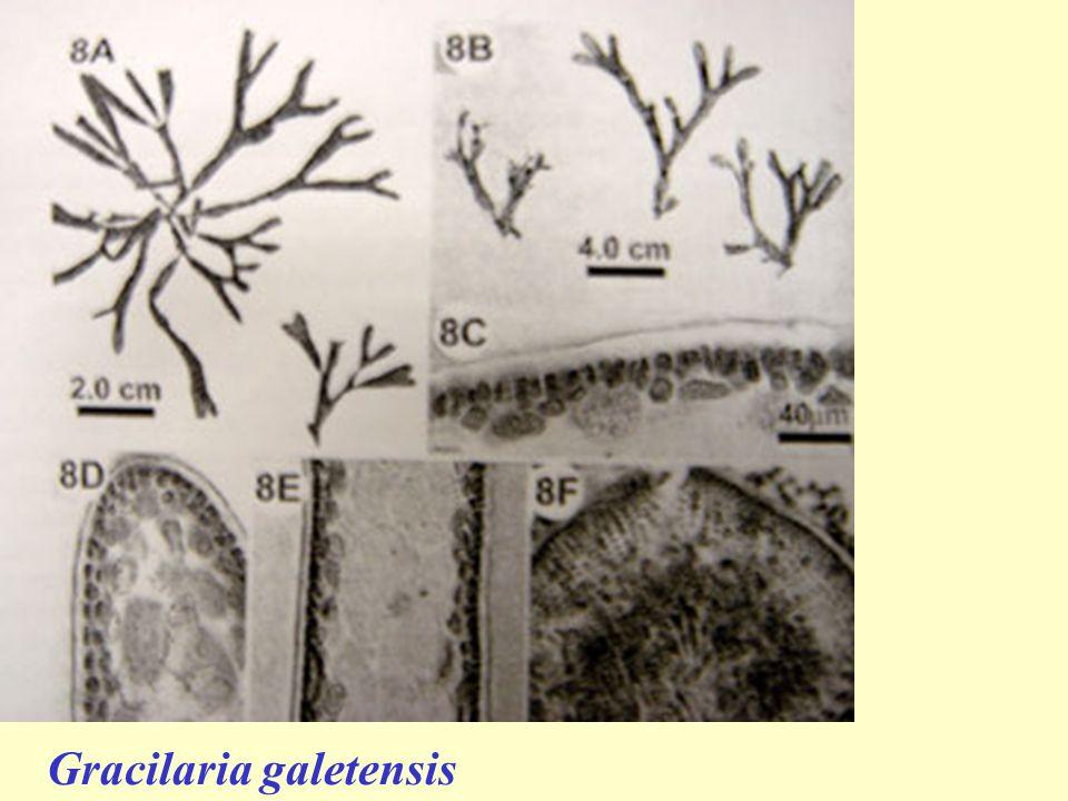 Gracilaria galetensis