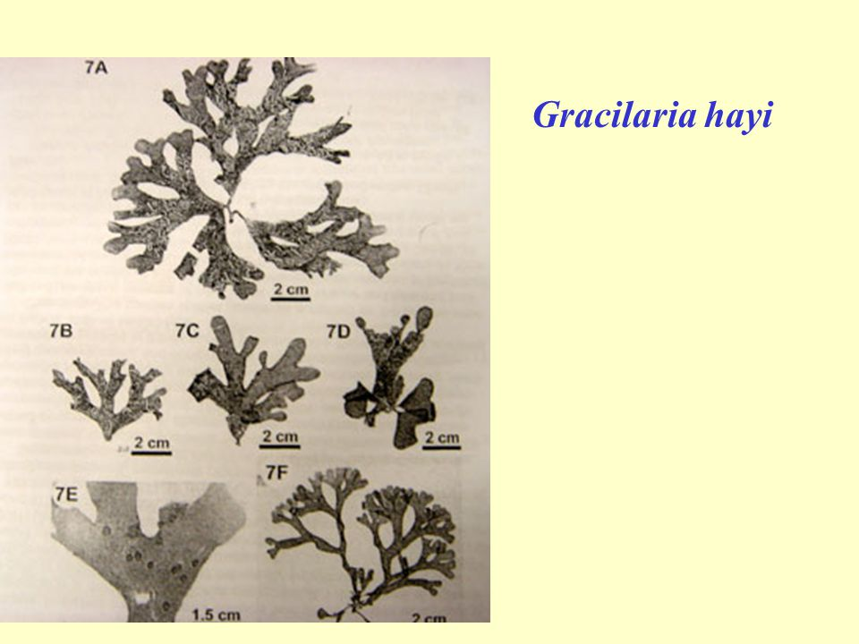 Gracilaria hayi