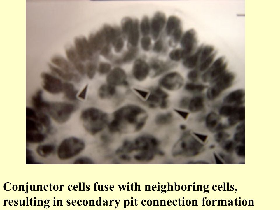 Conjunctor cells fuse with neighboring cells, resulting in secondary pit connection formation