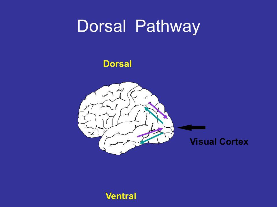 Ventral Dorsal Visual Cortex Dorsal Dorsal Pathway