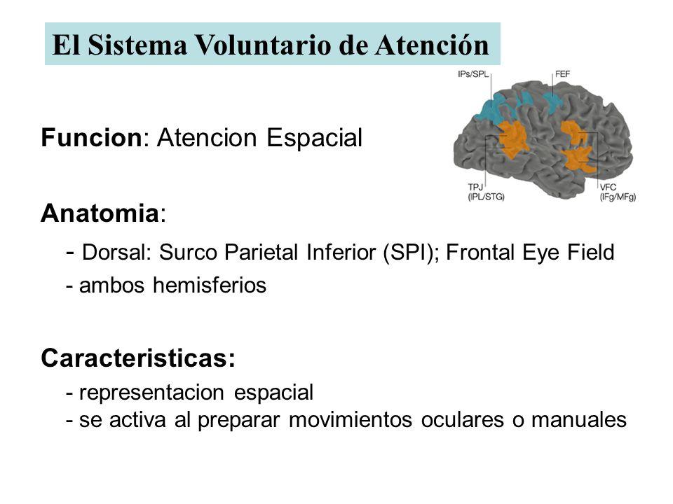 Funcion: Atencion Espacial Anatomia: - Dorsal: Surco Parietal Inferior (SPI); Frontal Eye Field - ambos hemisferios Caracteristicas: - representacion espacial - se activa al preparar movimientos oculares o manuales El Sistema Voluntario de Atención
