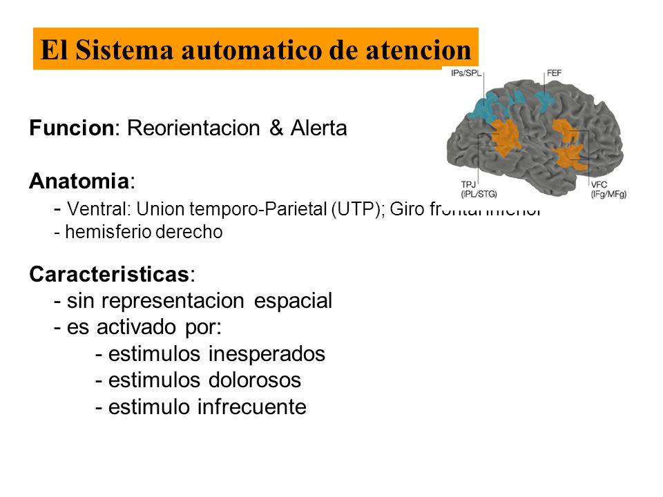 Funcion: Reorientacion & Alerta Anatomia: - Ventral: Union temporo-Parietal (UTP); Giro frontal inferior - hemisferio derecho Caracteristicas: - sin representacion espacial - es activado por: - estimulos inesperados - estimulos dolorosos - estimulo infrecuente El Sistema automatico de atencion