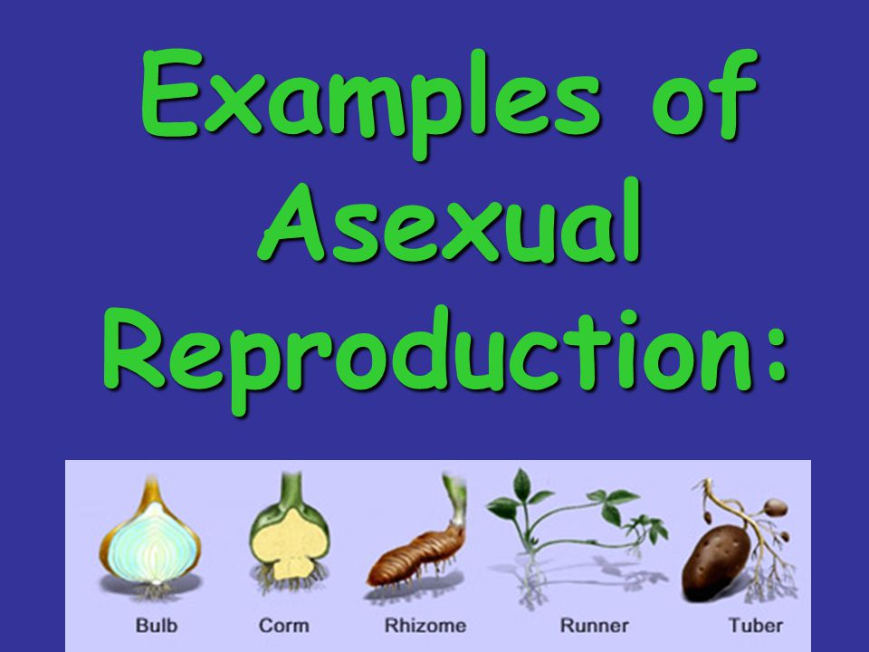 Examples of Asexual Reproduction: