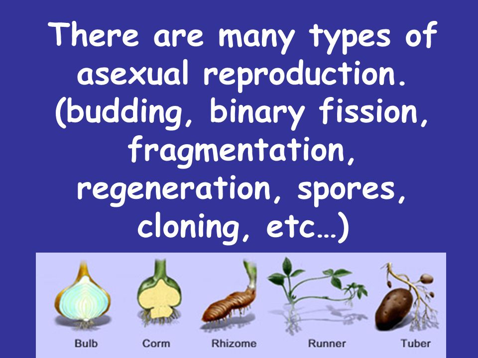 There are many types of asexual reproduction. (budding, binary fission, fragmentation, regeneration, spores, cloning, etc…)