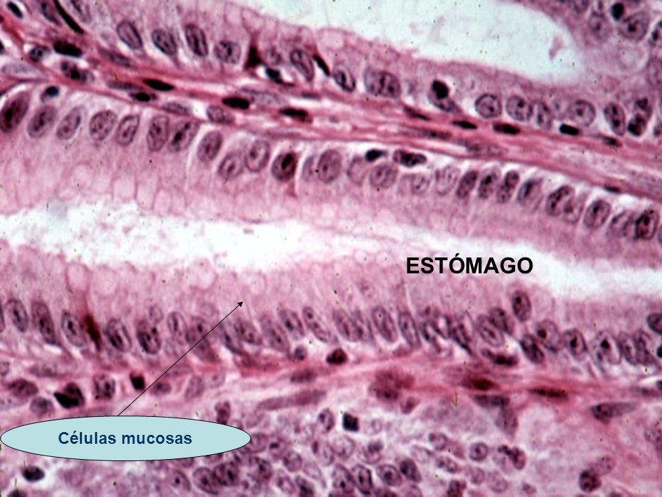 ESTÓMAGO Células mucosas