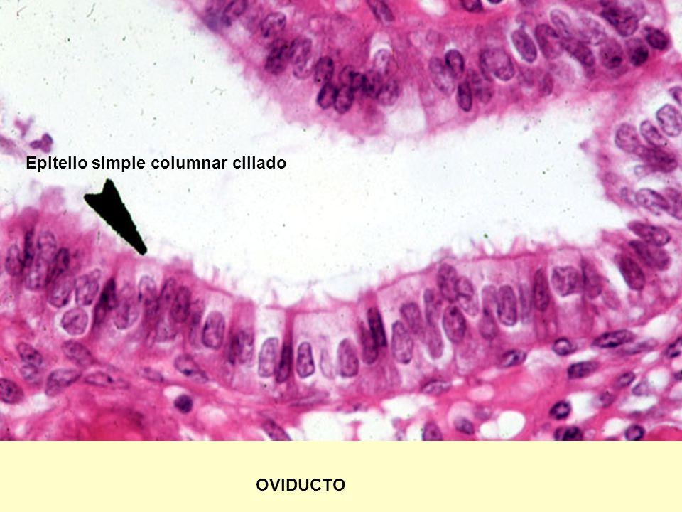 OVIDUCTO Epitelio simple columnar ciliado