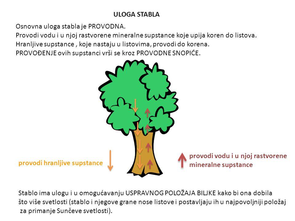 ULOGA STABLA Osnovna uloga stabla je PROVODNA. Provodi vodu i u njoj rastvorene mineralne supstance koje upija koren do listova. Hranljive supstance,