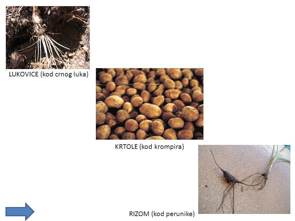 LUKOVICE (kod crnog luka) KRTOLE (kod krompira) RIZOM (kod perunike)