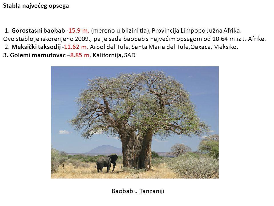 Stabla najvećeg opsega 1. Gorostasni baobab -15.9 m, (mereno u blizini tla), Provincija Limpopo Južna Afrika. Ovo stablo je iskorenjeno 2009., pa je s