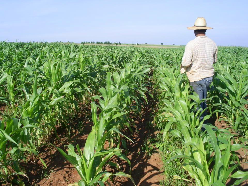 Casi 300 estudios comparativos de agricultura orgánica/agroecológica y agricultura convencional 1: org.=conven.