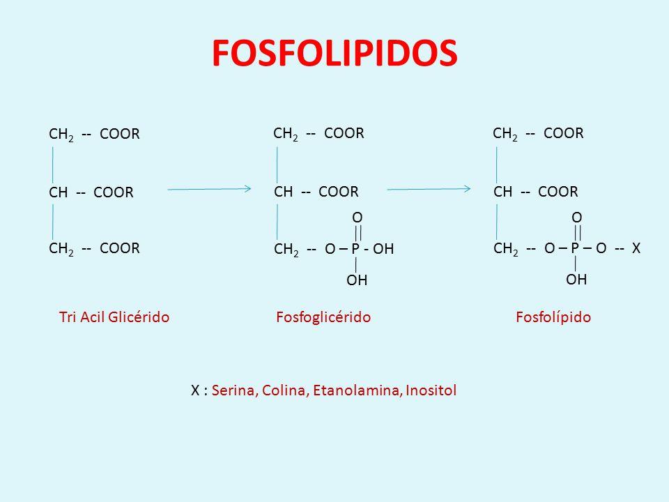 FOSFOLIPASAS CH -- COOR CH 2 -- COOR CH 2 -- O – P – O -- X O OH Fosfolipasa A 1 Fosfolipasa A 2 Fosfolipasa B Fosfolipasa C Fosfolipasa D