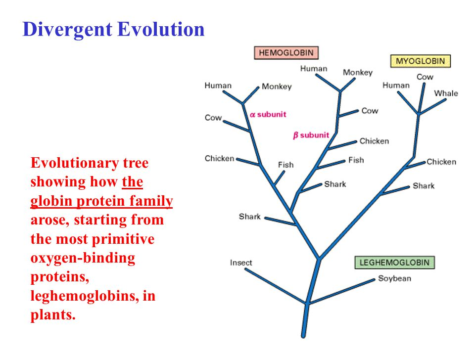 Evolutionary tree showing how the globin protein family arose, starting from the most primitive oxygen-binding proteins, leghemoglobins, in plants.