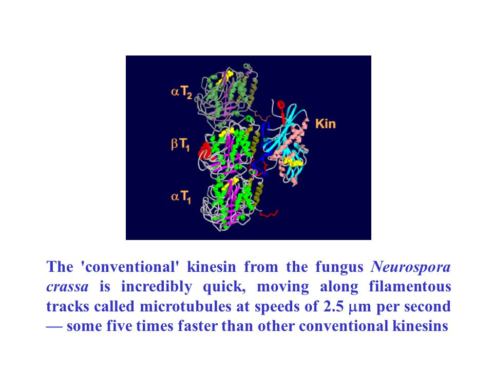 The conventional kinesin from the fungus Neurospora crassa is incredibly quick, moving along filamentous tracks called microtubules at speeds of 2.5  m per second — some five times faster than other conventional kinesins