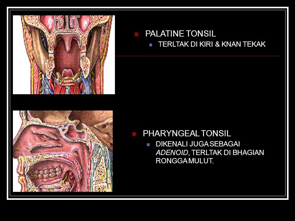 PHARYNGEAL TONSIL DIKENALI JUGA SEBAGAI ADENOID, TERLTAK DI BHAGIAN RONGGA MULUT. PALATINE TONSIL TERLTAK DI KIRI & KNAN TEKAK