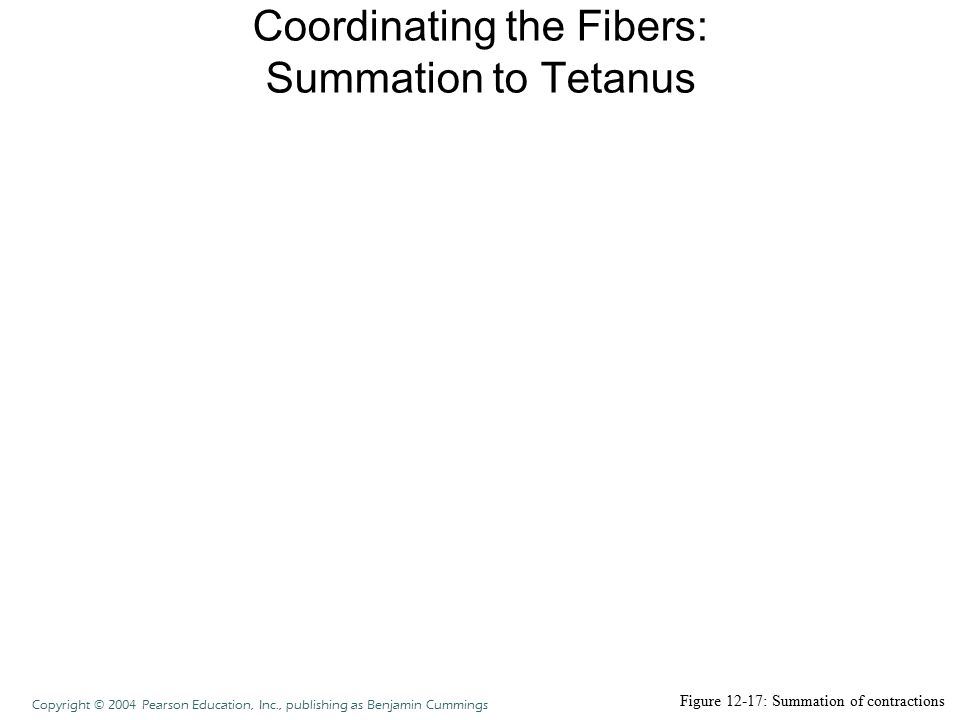 Coordinating the Fibers: Summation to Tetanus Figure 12-17: Summation of contractions Copyright © 2004 Pearson Education, Inc., publishing as Benjamin
