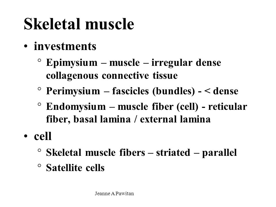 Jeanne A Pawitan Skeletal muscle investments °Epimysium – muscle – irregular dense collagenous connective tissue °Perimysium – fascicles (bundles) - < dense °Endomysium – muscle fiber (cell) - reticular fiber, basal lamina / external lamina cell °Skeletal muscle fibers – striated – parallel °Satellite cells