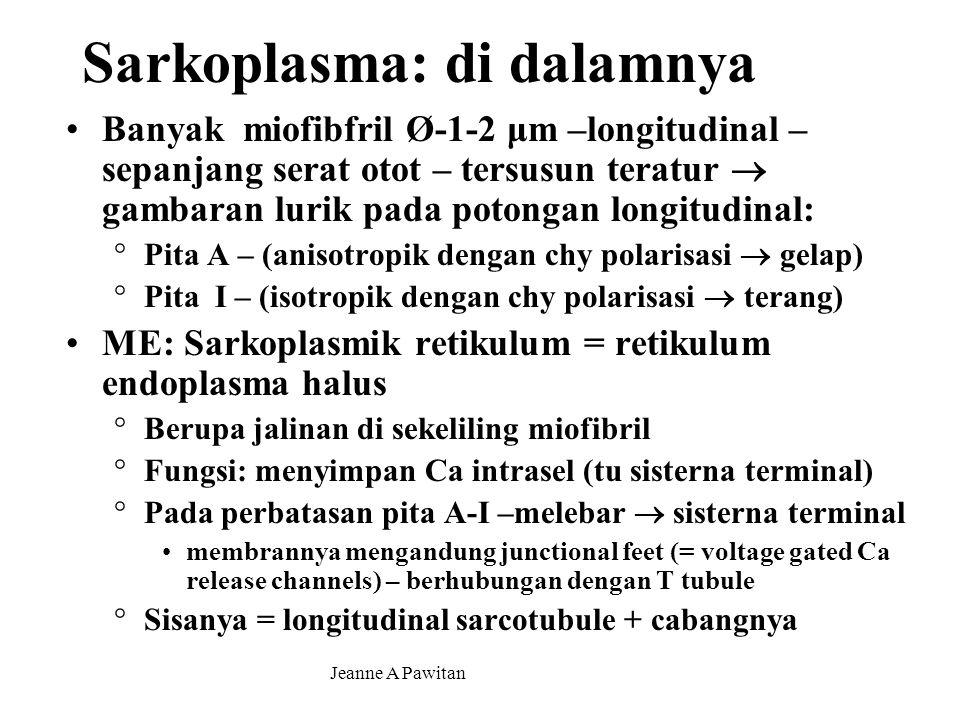 Jeanne A Pawitan Sarkoplasma: di dalamnya Banyak miofibfril Ø-1-2 μm –longitudinal – sepanjang serat otot – tersusun teratur  gambaran lurik pada potongan longitudinal: °Pita A – (anisotropik dengan chy polarisasi  gelap) °Pita I – (isotropik dengan chy polarisasi  terang) ME: Sarkoplasmik retikulum = retikulum endoplasma halus °Berupa jalinan di sekeliling miofibril °Fungsi: menyimpan Ca intrasel (tu sisterna terminal) °Pada perbatasan pita A-I –melebar  sisterna terminal membrannya mengandung junctional feet (= voltage gated Ca release channels) – berhubungan dengan T tubule °Sisanya = longitudinal sarcotubule + cabangnya