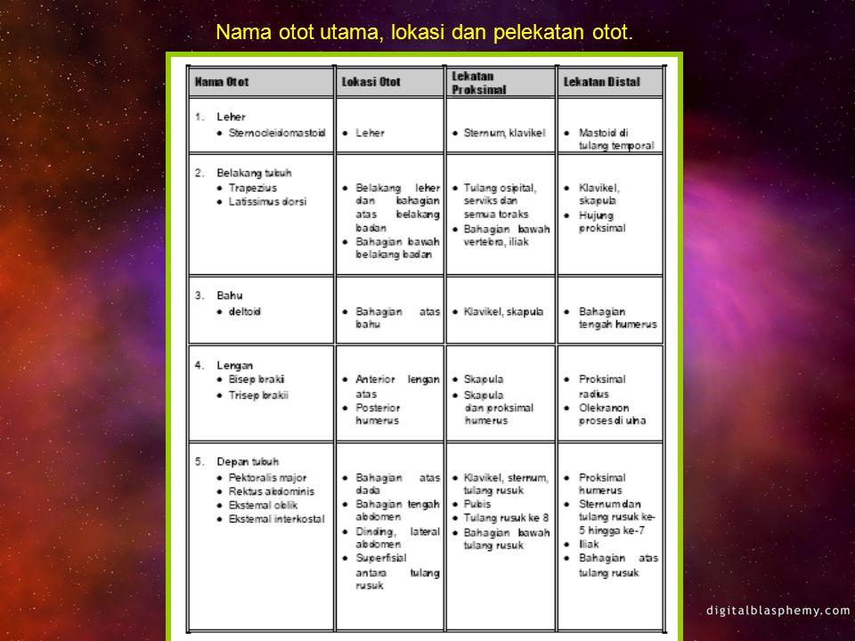 Nama otot utama, lokasi dan pelekatan otot.