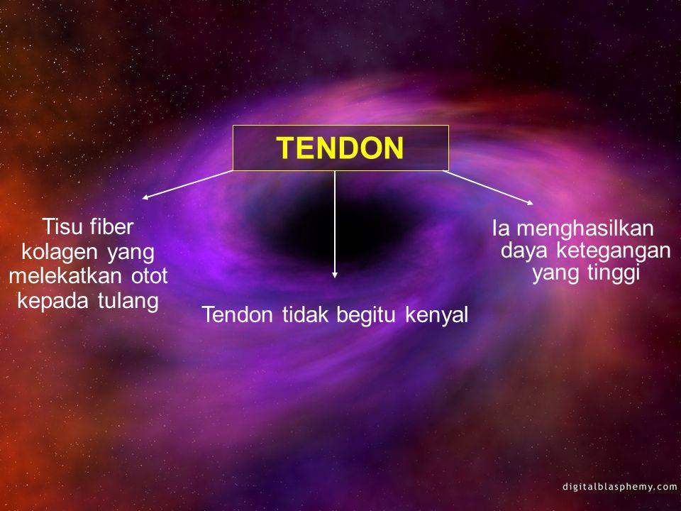 TENDON Ia menghasilkan daya ketegangan yang tinggi Tendon tidak begitu kenyal Tisu fiber kolagen yang melekatkan otot kepada tulang