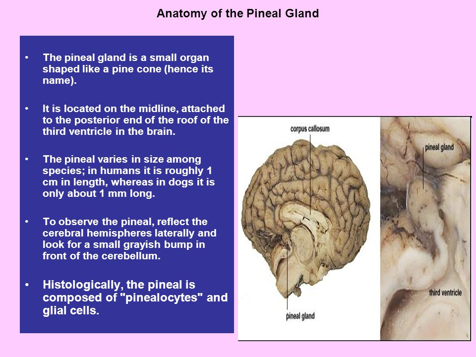 Anatomy of the Pineal Gland The pineal gland is a small organ shaped like a pine cone (hence its name).