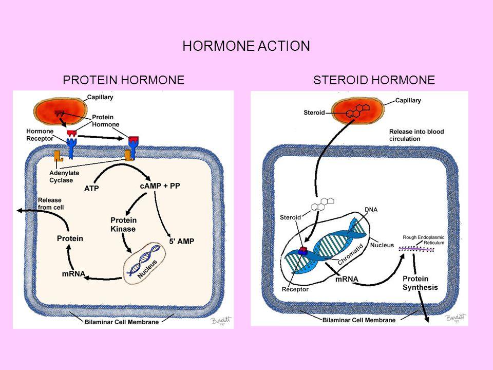 HORMONE ACTION PROTEIN HORMONESTEROID HORMONE