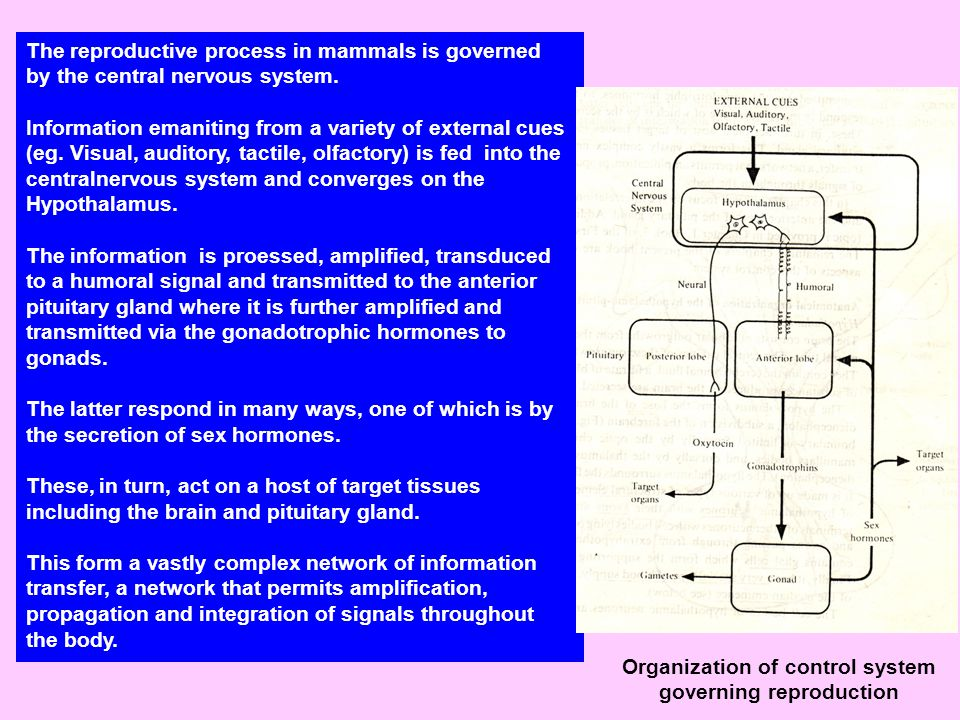 The reproductive process in mammals is governed by the central nervous system.
