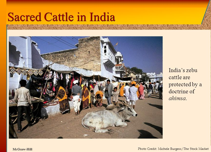 © 2002 by The McGraw-Hill Companies, Inc. All rights reserved. McGraw-Hill Sacred Cattle in India India's zebu cattle are protected by a doctrine of a