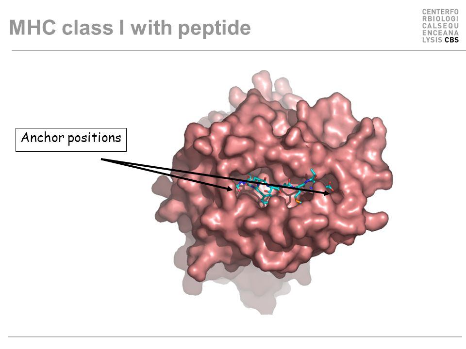 Anchor positions MHC class I with peptide