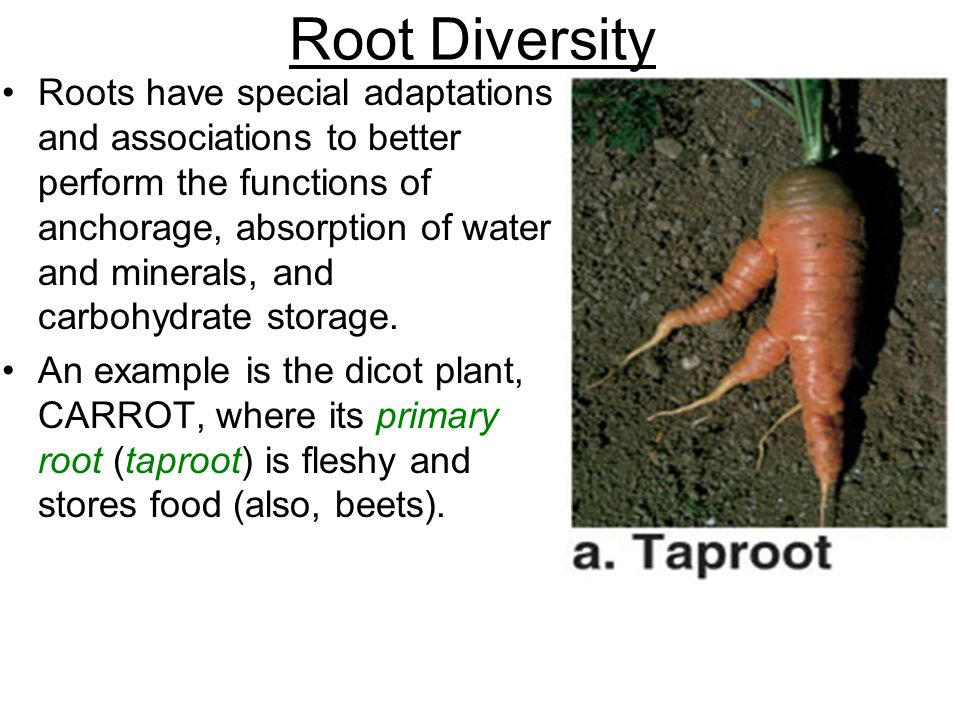 Root Diversity Roots have special adaptations and associations to better perform the functions of anchorage, absorption of water and minerals, and car