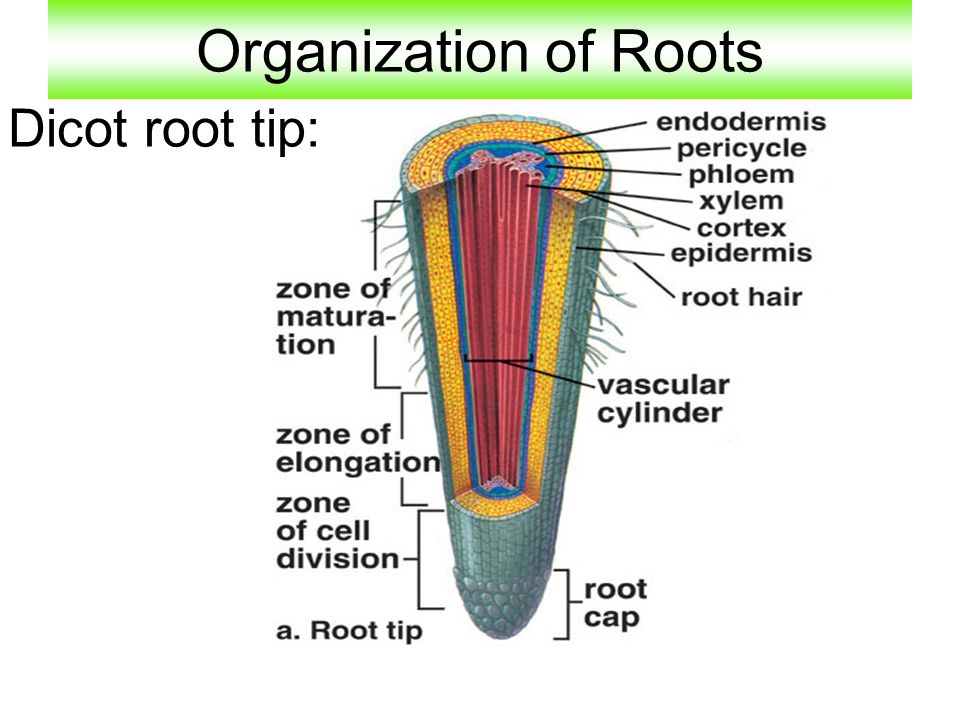 Organization of Roots Dicot root tip: