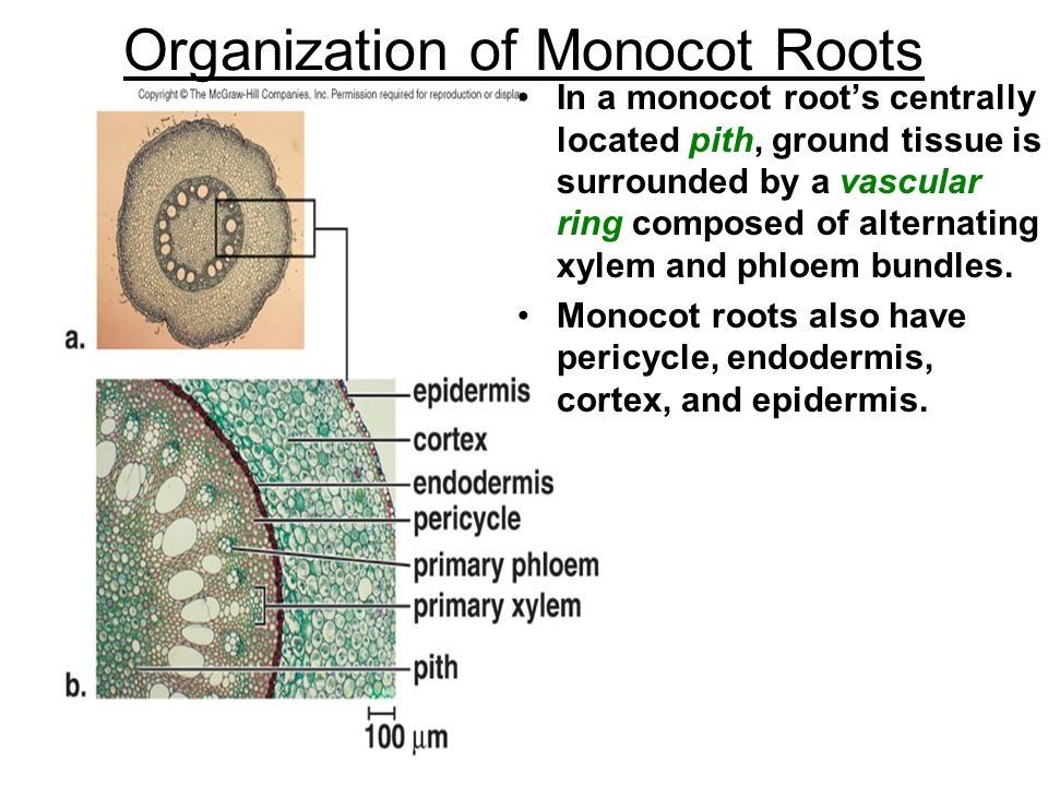 Organization of Monocot Roots In a monocot root's centrally located pith, ground tissue is surrounded by a vascular ring composed of alternating xylem