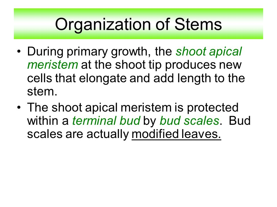 Organization of Stems During primary growth, the shoot apical meristem at the shoot tip produces new cells that elongate and add length to the stem. T