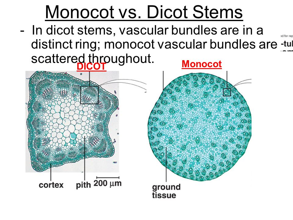 Monocot vs. Dicot Stems - In dicot stems, vascular bundles are in a distinct ring; monocot vascular bundles are scattered throughout. DICOT Monocot