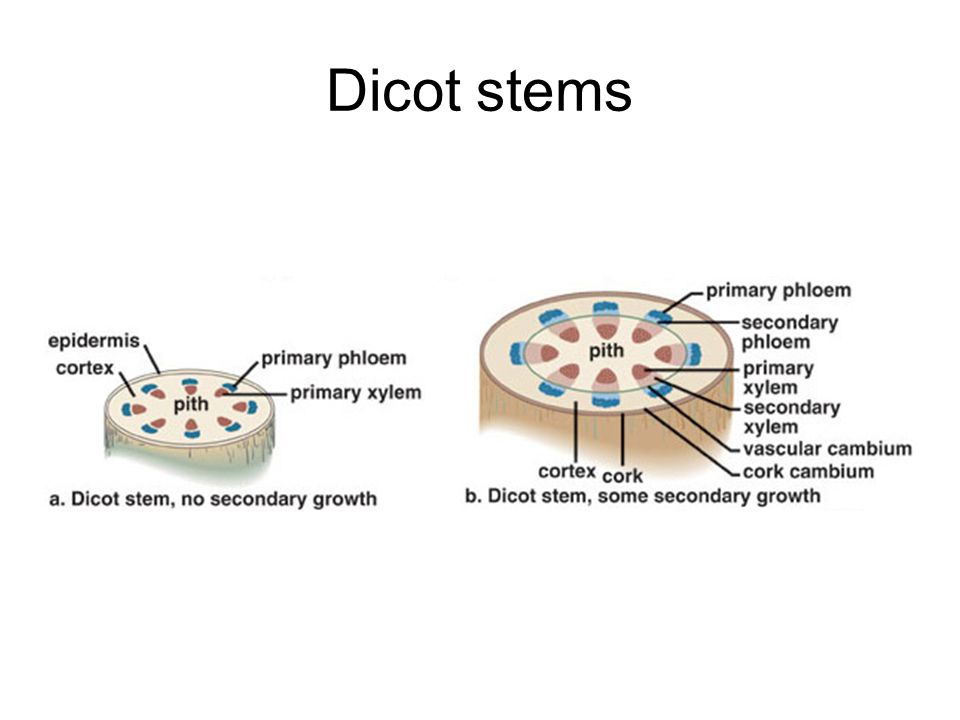 Dicot stems