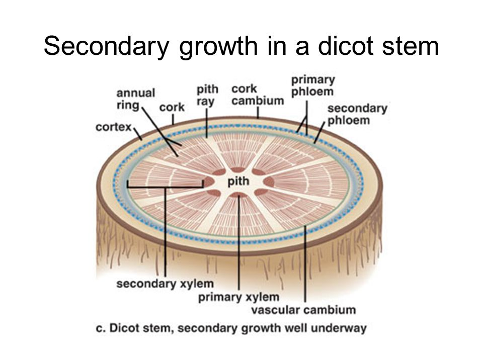 Secondary growth in a dicot stem