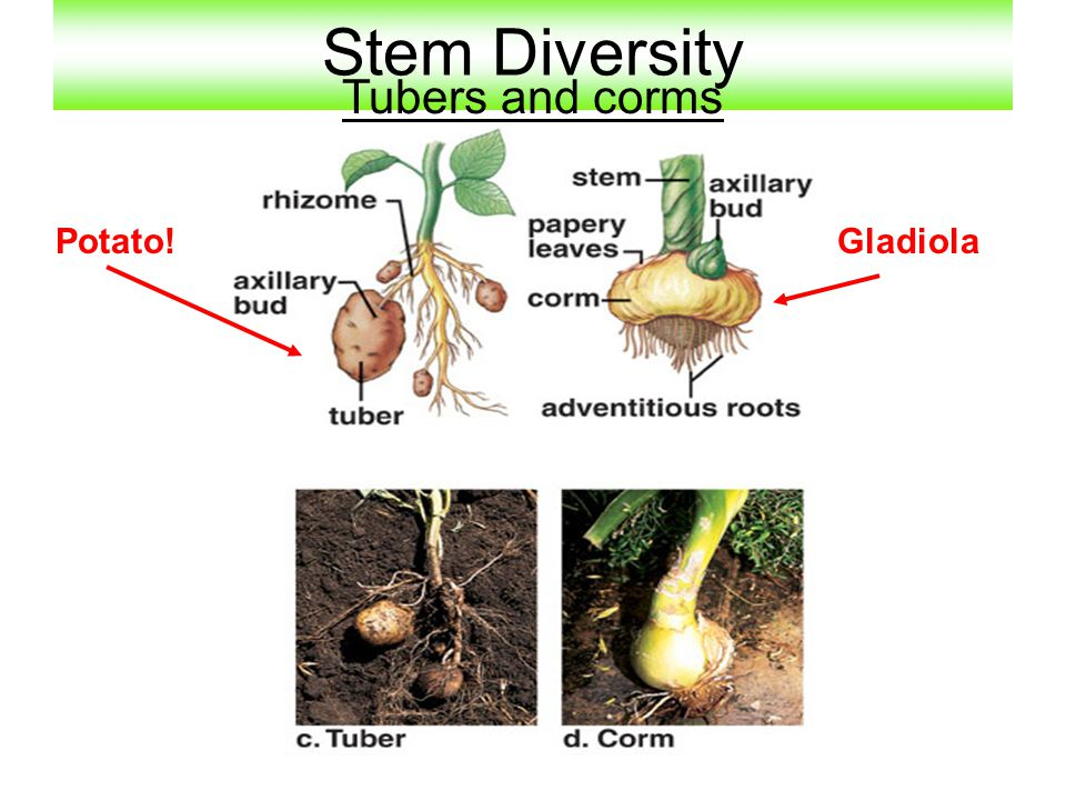 Stem Diversity Tubers and corms Potato!Gladiola