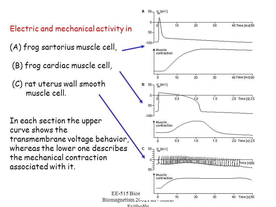 EE-515 Bioelectricity & Biomagnetism 2002 Fall - Murat Eyüboğlu Electric and mechanical activity in (A) frog sartorius muscle cell, (B) frog cardiac m