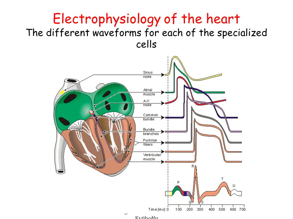 EE-515 Bioelectricity & Biomagnetism 2002 Fall - Murat Eyüboğlu Electrophysiology of the heart The different waveforms for each of the specialized cel