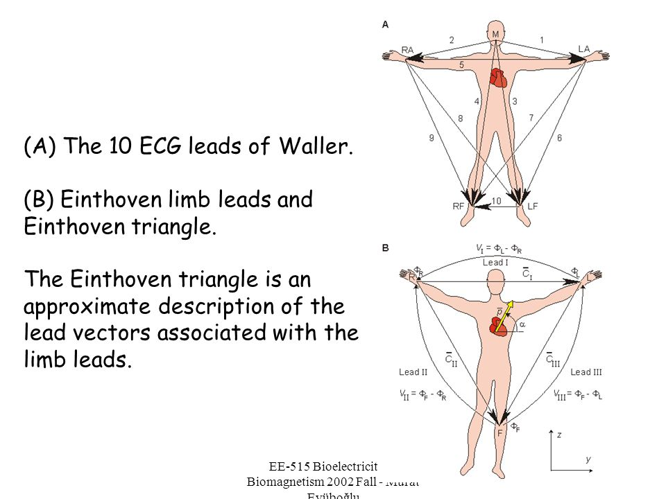 EE-515 Bioelectricity & Biomagnetism 2002 Fall - Murat Eyüboğlu (A) The 10 ECG leads of Waller. (B) Einthoven limb leads and Einthoven triangle. The E