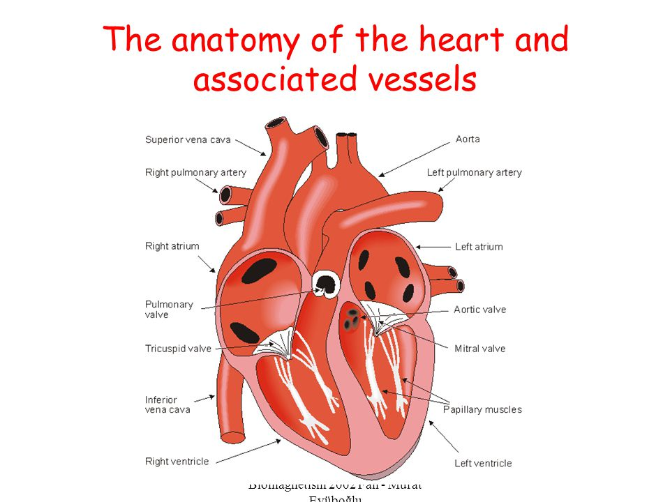 EE-515 Bioelectricity & Biomagnetism 2002 Fall - Murat Eyüboğlu The anatomy of the heart and associated vessels