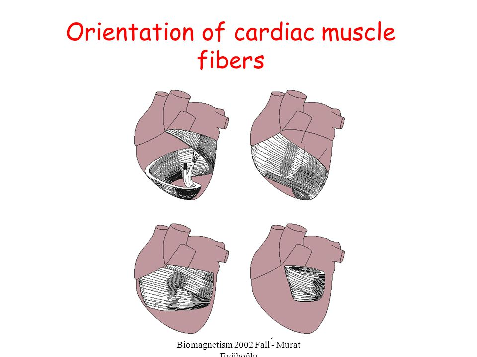 EE-515 Bioelectricity & Biomagnetism 2002 Fall - Murat Eyüboğlu Orientation of cardiac muscle fibers