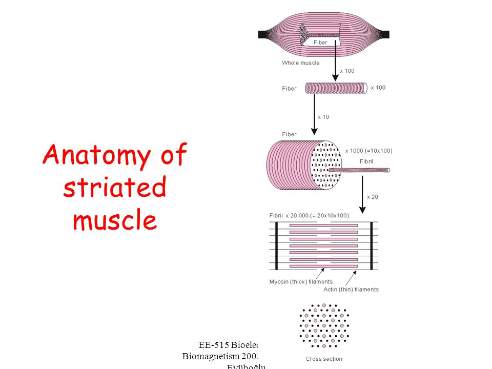 EE-515 Bioelectricity & Biomagnetism 2002 Fall - Murat Eyüboğlu Anatomy of striated muscle