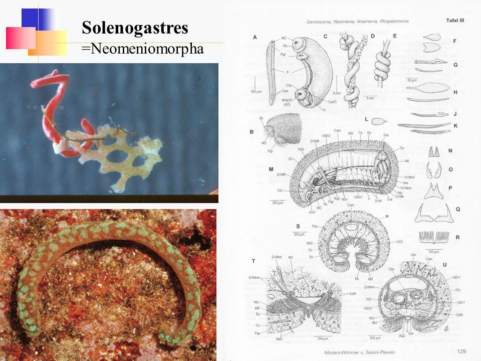 Solenogastres =Neomeniomorpha