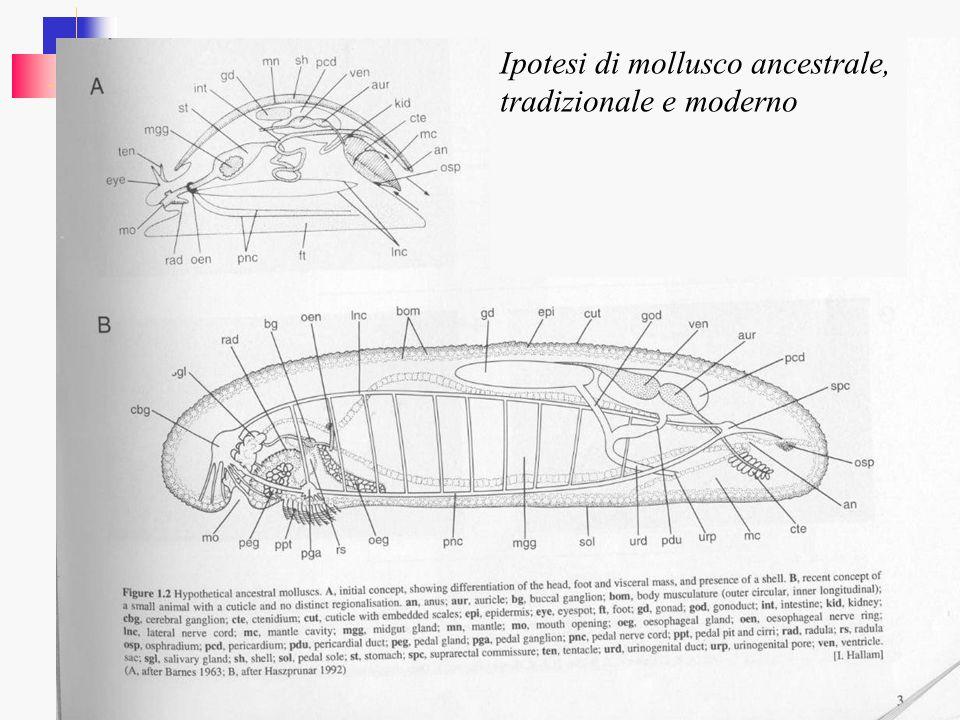Ipotesi di mollusco ancestrale, tradizionale e moderno