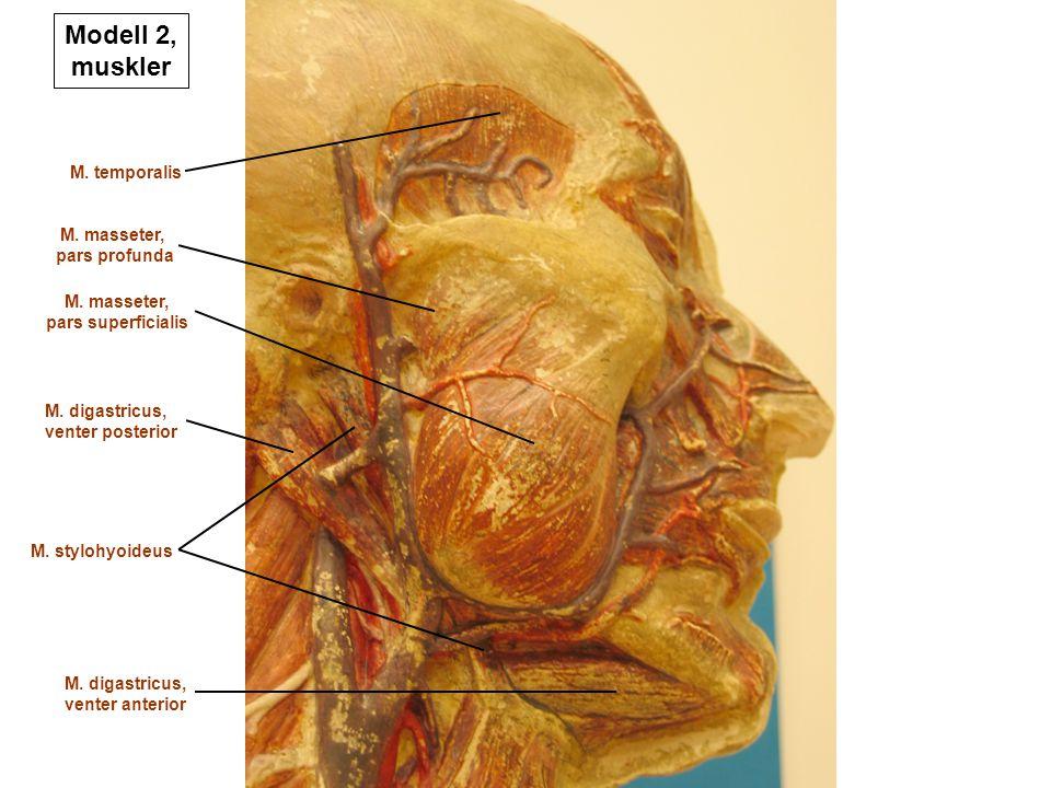 Modell 2, muskler M. temporalis M. masseter, pars profunda M. masseter, pars superficialis M. stylohyoideus M. digastricus, venter posterior M. digast