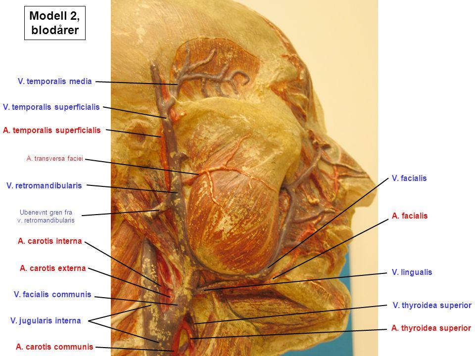 V. temporalis media V. temporalis superficialis A. temporalis superficialis A. transversa faciei V. retromandibularis A. carotis externa A. carotis in